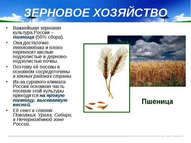 ЗЕРНОВОЕ ХОЗЯЙСТВО Важнейшая зерновая культура России – пшеница (50% сбора). Она достаточно теплолюбива и плохо переносит кислые подзолистые и дерново-подзолистые почвы. Поэтому её посевы в основном сосредоточены в южных районах страны. Из-за сурово…