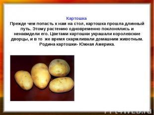 Картошка Прежде чем попасть к нам на стол, картошка прошла длинный путь. Этому р