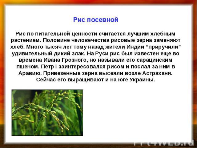 """Рис посевной Рис по питательной ценности считается лучшим хлебным растением. Половине человечества рисовые зерна заменяют хлеб. Много тысяч лет тому назад жители Индии """"приручили"""" удивительный дикий злак. На Руси рис был известен еще во времена Иван…"""