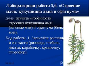 Лабораторная работа 5,6. «Строение мхов: кукушкина льна и сфагнума» Цель: изучит