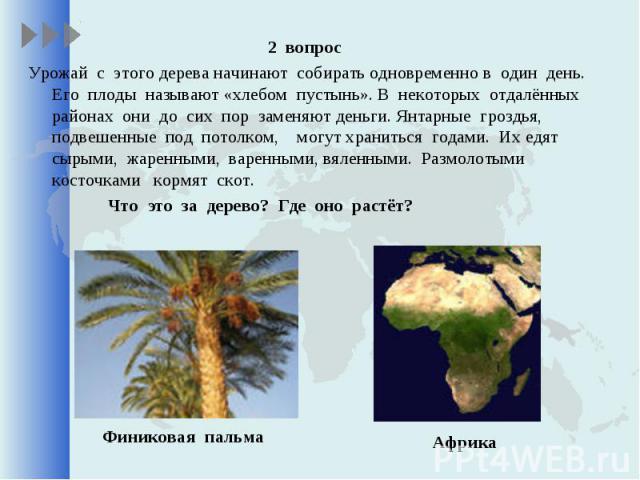 2 вопрос 2 вопрос Урожай с этого дерева начинают собирать одновременно в один день. Его плоды называют «хлебом пустынь». В некоторых отдалённых районах они до сих пор заменяют деньги. Янтарные гроздья, подвешенные под потолком, могут храниться годам…