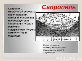 Сапропель Сапропель- гнилостный серовато- коричневый ил, который, уплотняясь, пр