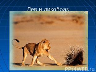 Лев и дикобраз