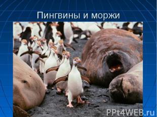 Пингвины и моржи