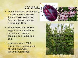 Слива. Родиной сливы домашней считают Кавказ, Малую Азию и Северный Иран.