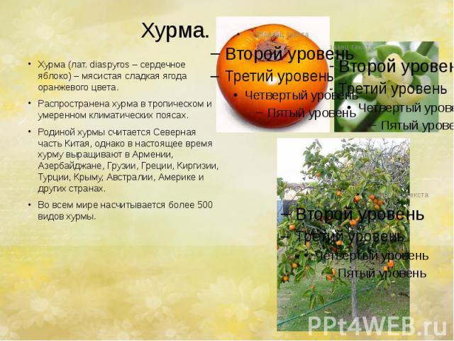 Хурма. Хурма (лат. diaspyros – сердечное яблоко) – мясистая сладкая ягода оранжевого цвета. Распространена хурма в тропическом и умеренном климатических поясах. Родиной хурмы считается Северная часть Китая, однако в настоящее время хурму выращивают …
