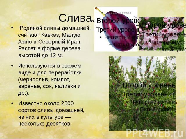 Слива. Родиной сливы домашней считают Кавказ, Малую Азию и Северный Иран. Растет в форме дерева высотой до 12м. Используются в свежем виде и для переработки (чернослив, компот, варенье, сок, наливки и др.). Известно около 2000 сортов сли…