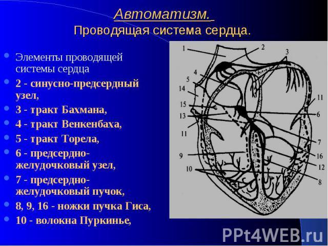 Автоматизм. Проводящая система сердца. Элементы проводящей системы сердца 2 - синусно-предсердный узел, 3 - тракт Бахмана, 4 - тракт Венкенбаха, 5 - тракт Торела, 6 - предсердно-желудочковый узел, 7 - предсердно-желудочковый пучок, 8, 9, 16 - ножки …