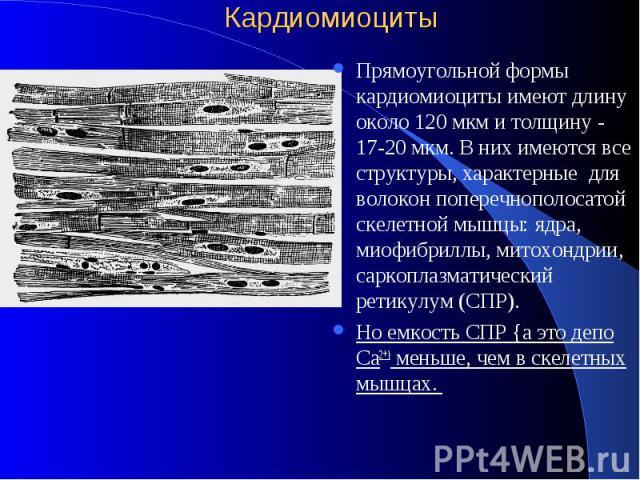 Кардиомиоциты Прямоугольной формы кардиомиоциты имеют длину около 120 мкм и толщину - 17-20 мкм. В них имеются все структуры, характерные для волокон поперечнополосатой скелетной мышцы: ядра, миофибриллы, митохондрии, саркоплазматический ретикулум (…