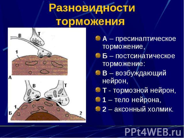 Разновидности торможения А – пресинаптическое торможение, Б – постсинатическое торможение: В – возбуждающий нейрон, Т - тормозной нейрон, 1 – тело нейрона, 2 – аксонный холмик.
