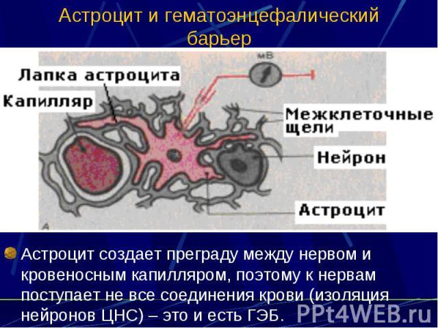 Астроцит и гематоэнцефалический барьер Астроцит создает преграду между нервом и кровеносным капилляром, поэтому к нервам поступает не все соединения крови (изоляция нейронов ЦНС) – это и есть ГЭБ.