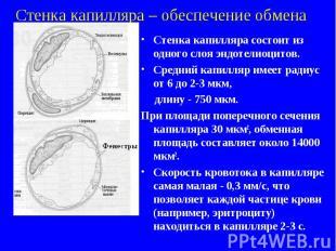 Стенка капилляра – обеспечение обмена Стенка капилляра состоит из одного слоя эн