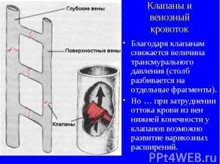 Клапаны и венозный кровоток Благодаря клапанам снижается величина трансмуральног