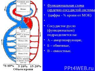 Функциональная схема сердечно-сосудистой системы (цифры - % крови от МОК) Сосуди