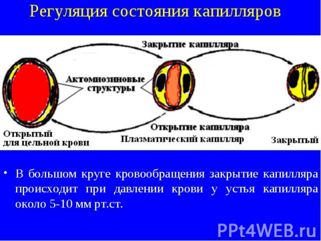 Регуляция состояния капилляров В большом круге кровообращения закрытие капилляра происходит при давлении крови у устья капилляра около 5-10 мм рт.ст.