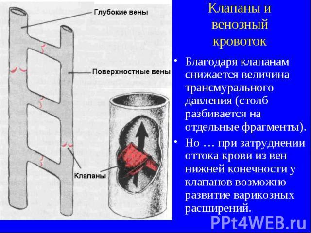 Клапаны и венозный кровоток Благодаря клапанам снижается величина трансмурального давления (столб разбивается на отдельные фрагменты). Но … при затруднении оттока крови из вен нижней конечности у клапанов возможно развитие варикозных расширений.