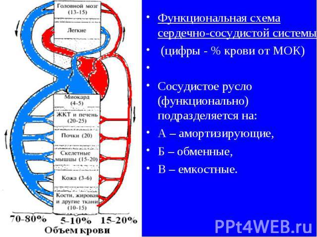 Функциональная схема сердечно-сосудистой системы (цифры - % крови от МОК) Сосудистое русло (функционально) подразделяется на: А – амортизирующие, Б – обменные, В – емкостные.