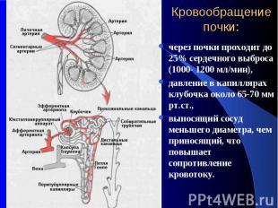Кровообращение почки: через почки проходит до 25% сердечного выброса (1000- 1200