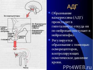 АДГ Образование вазопрессина (АДГ) происходит в гипоталямусе откуда он по нейрон