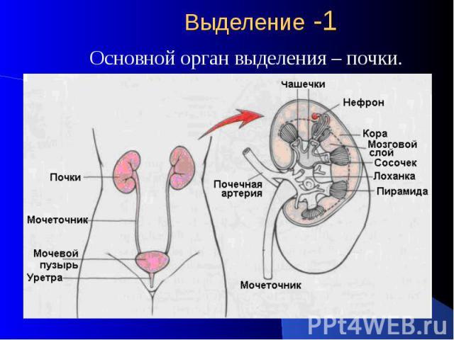 Выделение -1 Основной орган выделения – почки.
