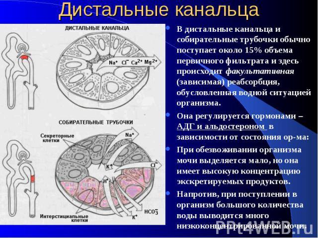 Дистальные канальца В дистальные канальца и собирательные трубочки обычно поступает около 15% объема первичного фильтрата и здесь происходит факультативная (зависимая) реабсорбция, обусловленная водной ситуацией организма. Она регулируется гормонами…