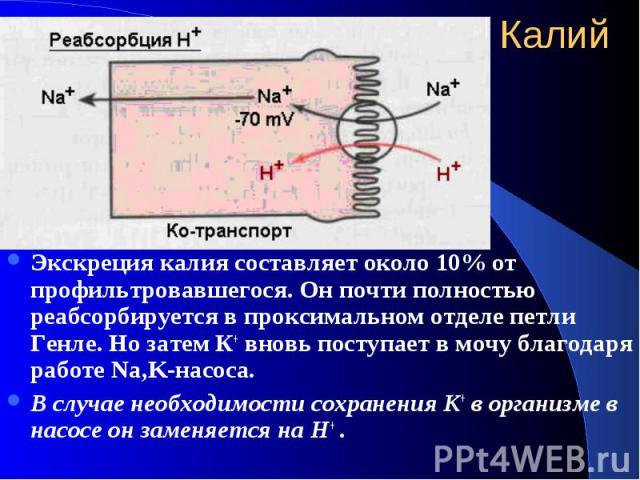 Калий Экскреция калия составляет около 10% от профильтровавшегося. Он почти полностью реабсорбируется в проксимальном отделе петли Генле. Но затем К+ вновь поступает в мочу благодаря работе Na,K-насоса. В случае необходимости сохранения К+ в организ…