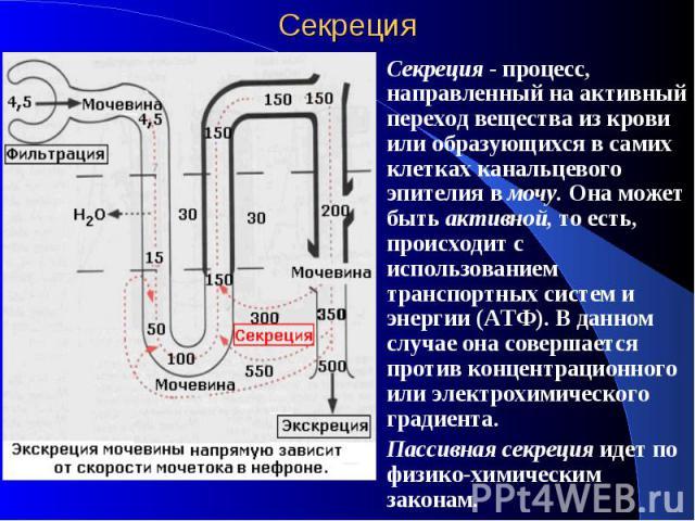 Секреция Секреция - процесс, направленный на активный переход вещества из крови или образующихся в самих клетках канальцевого эпителия в мочу. Она может быть активной, то есть, происходит с использованием транспортных систем и энергии (АТФ). В данно…