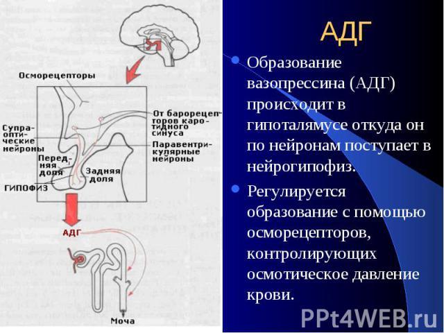 АДГ Образование вазопрессина (АДГ) происходит в гипоталямусе откуда он по нейронам поступает в нейрогипофиз. Регулируется образование с помощью осморецепторов, контролирующих осмотическое давление крови.