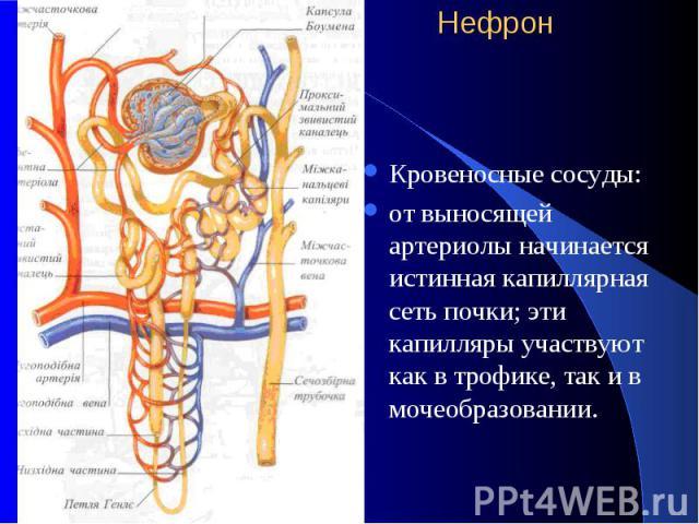 Нефрон Кровеносные сосуды: от выносящей артериолы начинается истинная капиллярная сеть почки; эти капилляры участвуют как в трофике, так и в мочеобразовании.