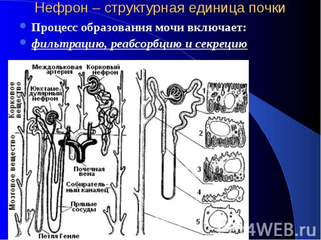 Нефрон – структурная единица почки Процесс образования мочи включает: фильтрацию, реабсорбцию и секрецию
