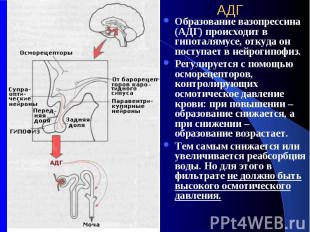 АДГ Образование вазопрессина (АДГ) происходит в гипоталямусе, откуда он поступае