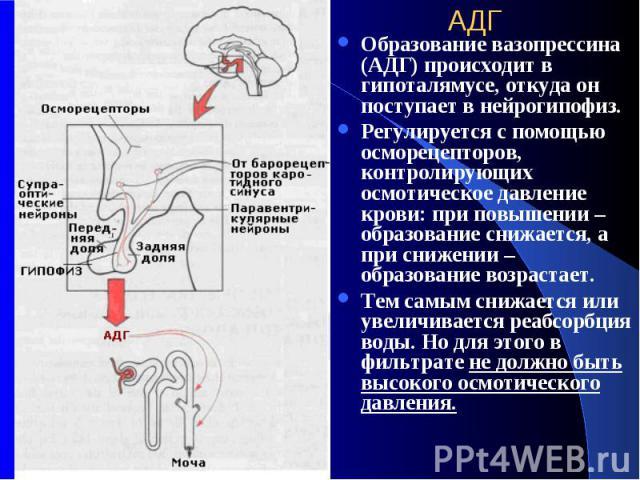АДГ Образование вазопрессина (АДГ) происходит в гипоталямусе, откуда он поступает в нейрогипофиз. Регулируется с помощью осморецепторов, контролирующих осмотическое давление крови: при повышении –образование снижается, а при снижении – образование в…