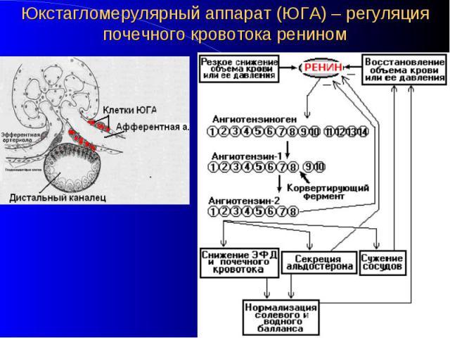 Юкстагломерулярный аппарат (ЮГА) – регуляция почечного кровотока ренином