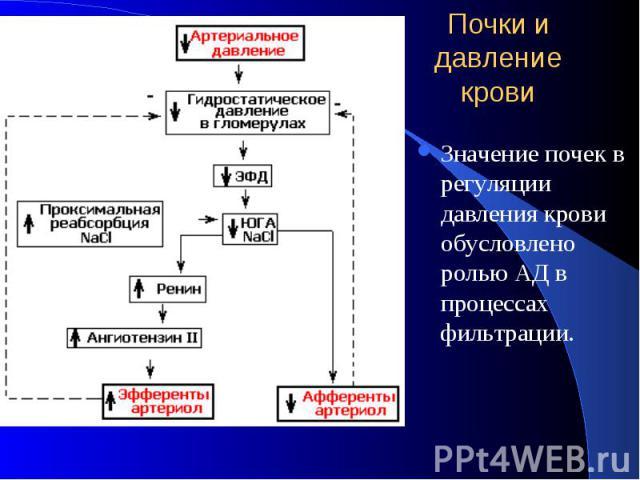 Почки и давление крови Значение почек в регуляции давления крови обусловлено ролью АД в процессах фильтрации.