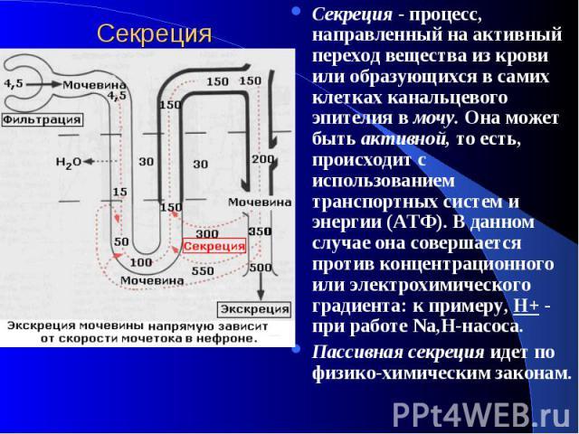 Cекреция Секреция - процесс, направленный на активный переход вещества из крови или образующихся в самих клетках канальцевого эпителия в мочу. Она может быть активной, то есть, происходит с использованием транспортных систем и энергии (АТФ). В данно…