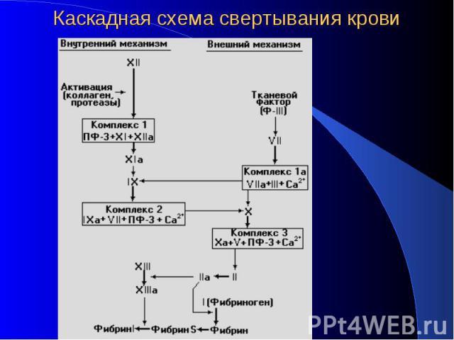 Каскадная схема свертывания крови