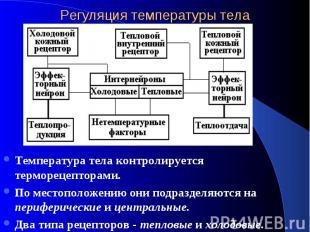 Регуляция температуры тела Температура тела контролируется терморецепторами. По