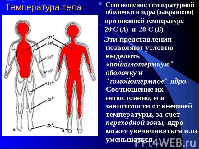"""Температура тела Соотношение температурной оболочки и ядра (закрашено) при внешней температуре 20о С (А) и 28о С (Б). Эти представления позволяют условно выделить «пойкилотермную"""" оболочку и """"гомойотермное"""" ядро. Соотношение их непост…"""