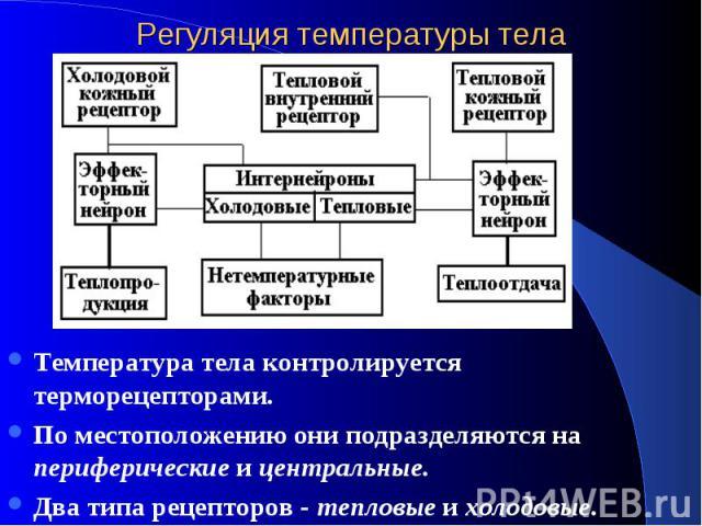 Регуляция температуры тела Температура тела контролируется терморецепторами. По местоположению они подразделяются на периферические и центральные. Два типа рецепторов - тепловые и холодовые.