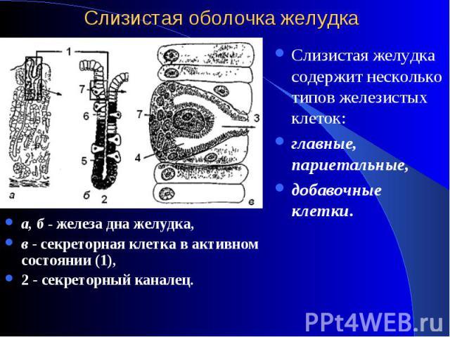а, б - железа дна желудка, а, б - железа дна желудка, в - секреторная клетка в активном состоянии (1), 2 - секреторный каналец.