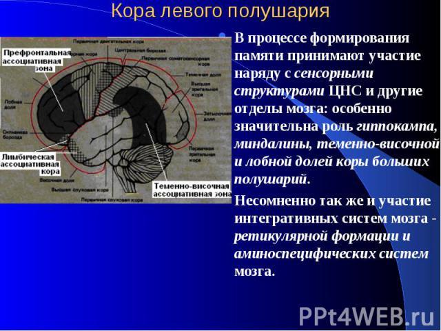 Кора левого полушария В процессе формирования памяти принимают участие наряду с сенсорными структурами ЦНС и другие отделы мозга: особенно значительна роль гиппокампа, миндалины, теменно-височной и лобной долей коры больших полушарий. Несомненно так…