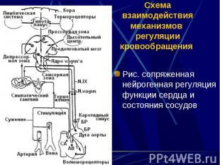 Рис. сопряженная нейрогенная регуляция функции сердца и состояния сосудов Рис. с