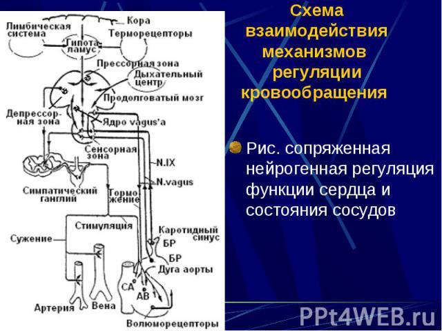 Рис. сопряженная нейрогенная регуляция функции сердца и состояния сосудов Рис. сопряженная нейрогенная регуляция функции сердца и состояния сосудов