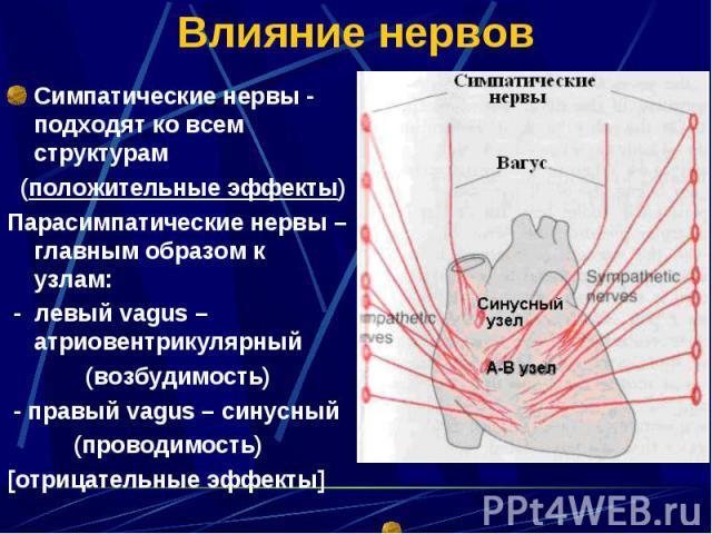 Симпатические нервы - подходят ко всем структурам Симпатические нервы - подходят ко всем структурам (положительные эффекты) Парасимпатические нервы – главным образом к узлам: - левый vagus – атриовентрикулярный (возбудимость) - правый vagus – синусн…