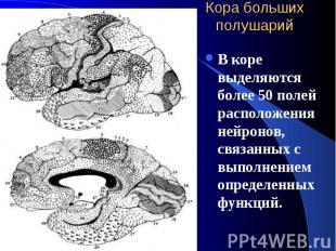 Кора больших полушарий В коре выделяются более 50 полей расположения нейронов, с