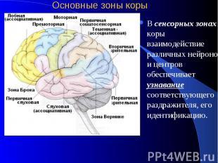 Основные зоны коры В сенсорных зонах коры взаимодействие различных нейронов и це