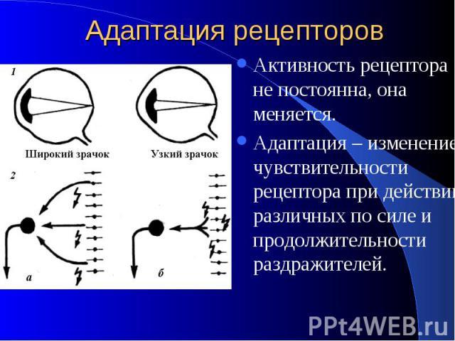 Адаптация рецепторов Активность рецептора не постоянна, она меняется. Адаптация – изменение чувствительности рецептора при действии различных по силе и продолжительности раздражителей.