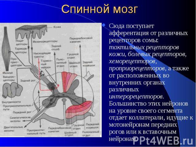 Спинной мозг Сюда поступает афферентация от различных рецепторов сомы: тактильных рецепторов кожи, болевых рецепторов, хеморецепторов, проприорецепторов, а также от расположенных во внутренних органах различных интерорецепторов. Большинство этих ней…