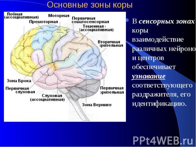 Основные зоны коры В сенсорных зонах коры взаимодействие различных нейронов и центров обеспечивает узнавание соответствующего раздражителя, его идентификацию.