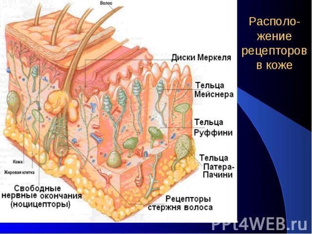 Располо-жение рецепторов в коже